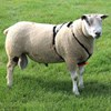 Picture of Cotton Anti-Chafe Ram Harness