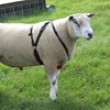 Picture of Pedigree Cotton Ram Harness
